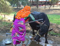 Woman washing cow